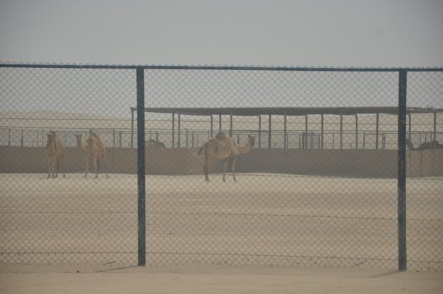 Camels in the Desert, Visiting Dubai